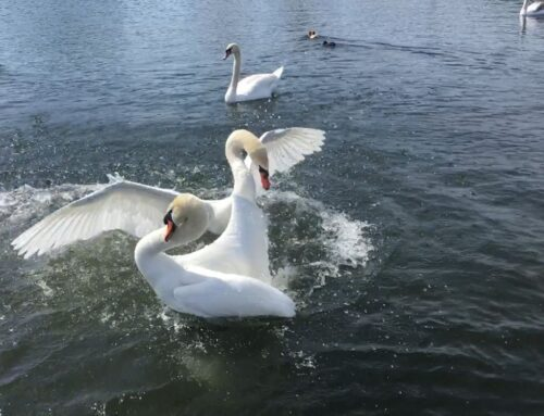 Swan's fight in Nymphenburg Palace, Munich
