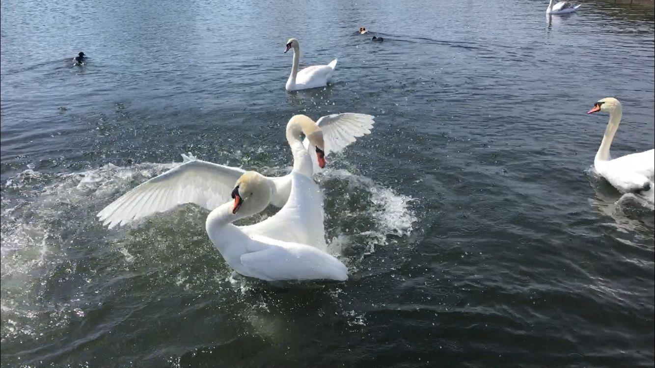 Swan's fight in Nymphenburg, Munich.